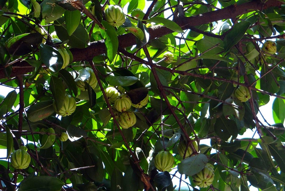 fruktrad med mycket omogon frukt