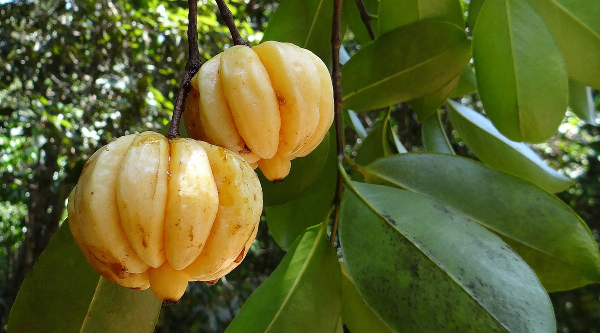 mogen Garcinia cambogia frukt på träd